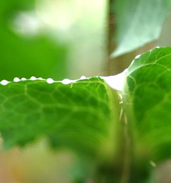 opium_lettuce